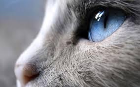 Perfil de gato gris con ojos azules
