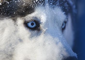 Ojos azules de perro Husky