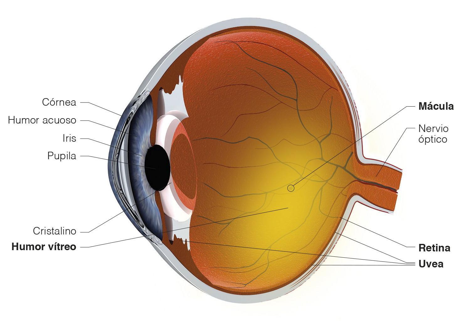 Ilustración ojo naranja partes