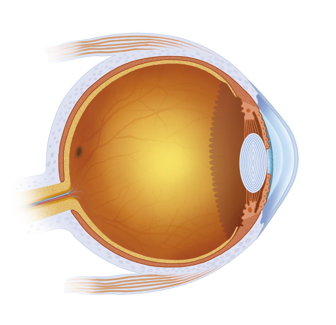 Ilustración partes del ojo