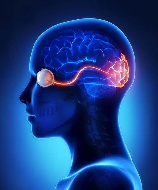 Ilustración nervio óptico, cerebro y ojo