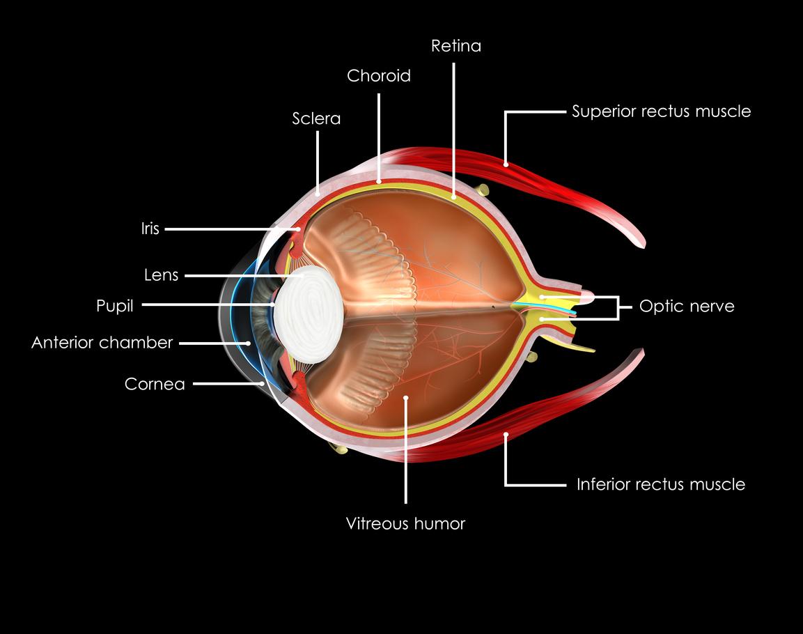 Ilustración partes del globo ocular