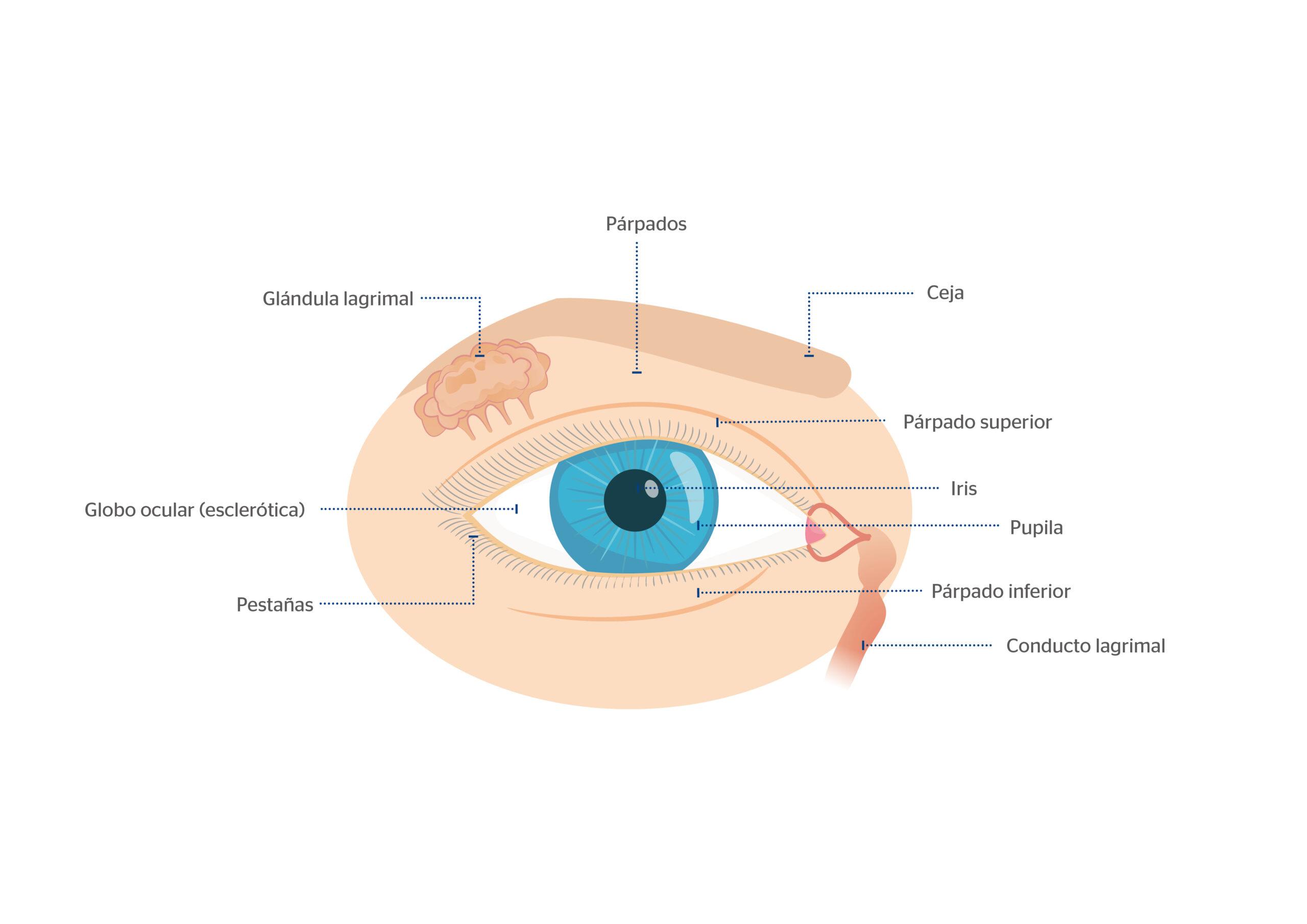 Órganos anejos ojo