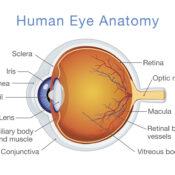 Las partes del ojo humano y sus funciones