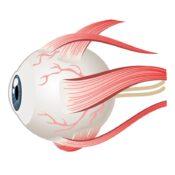 ¿Cuáles son los músculos del ojo?