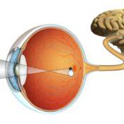 ¿Quieres saber cómo se produce la visión?