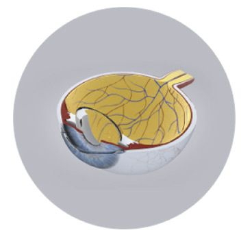 Maqueta interior globo ocular